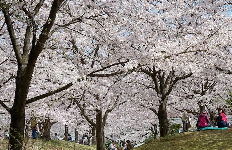 桜の 花見 最初