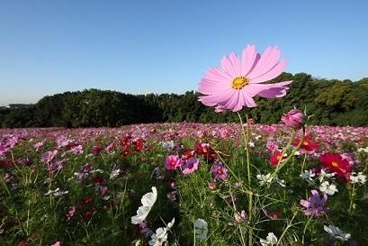 万博記念公園コスモスフェスタ【2018年10月4日(木) ~ 11月4日(日)】