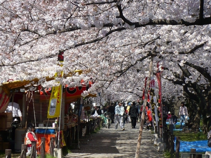 春町・西春町の桜並木